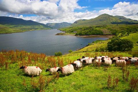 Flock of sheep on the green Island Ireland