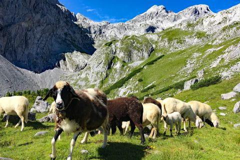 Sheep at the foot of Hochkoenig