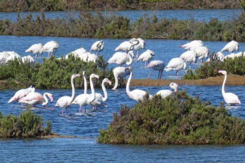 Flamingos in den Salinen des Naturschutzgebiet Ria Formosa