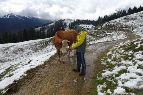Wanderer begegnet Kuh am Berg