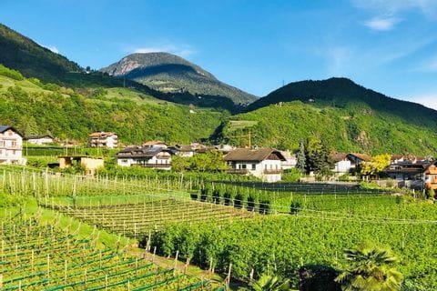 Weinreben in Südtirol
