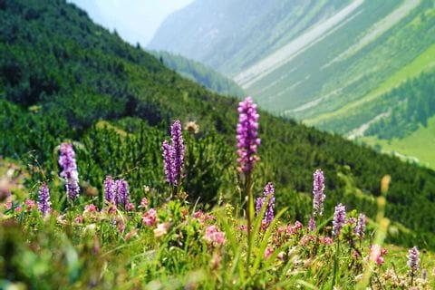 Wunderschöne Alpenblumen im Lechtal