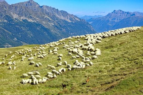 Loose sheep at the Tour du Mont Blanc