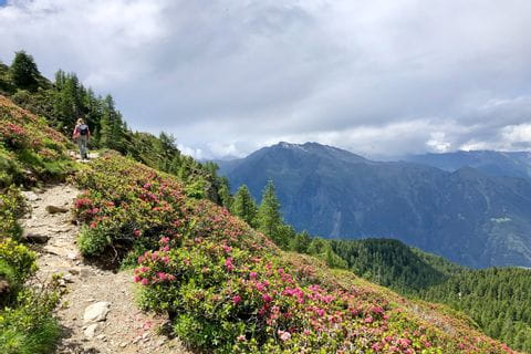 Blossoming alpine rush by the wayside with views of the South Tyrolean mountains