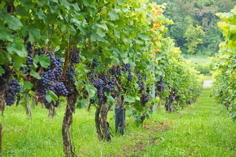 Malerische Weingärten beim Wandern