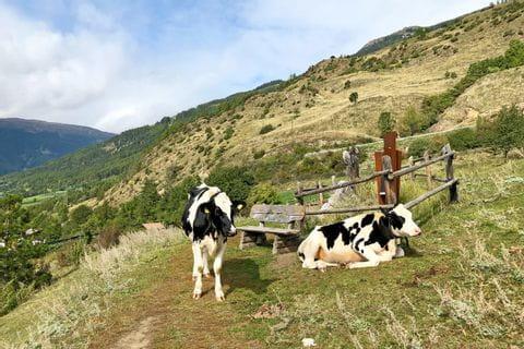 Kühe auf dem Wanderweg Richtung Meran