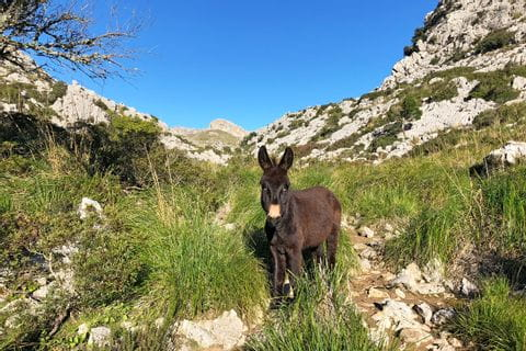 Donkey on the Trans Tramuntana hiking trail