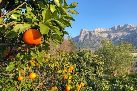Blooming oranges in the Tramuntana mountain range