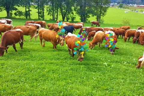 Aufgekranzte Kühe nach dem Almabtrieb