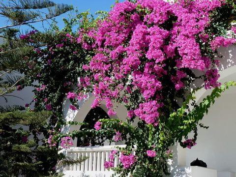 Spring flowers on Santorini