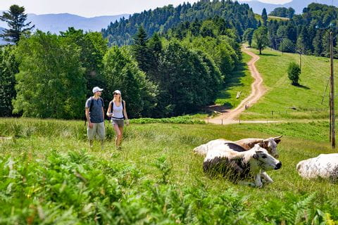 Beautiful walks past cow herds