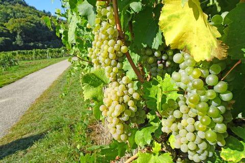 Wanderweg mit Weinrebe am Welterbesteig Wachau