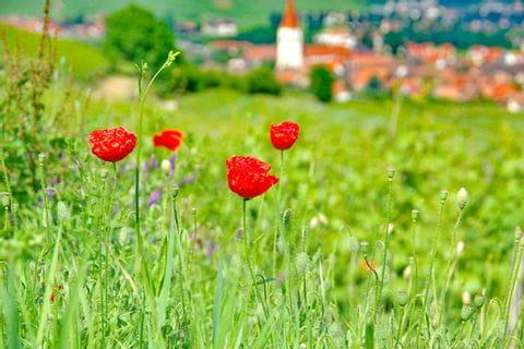 Unberührte Blumenlandschaften genießen während den Wandertagen