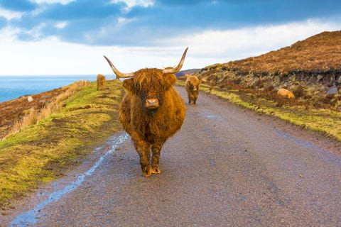 Highland cattles at the hiking trail in Scotland