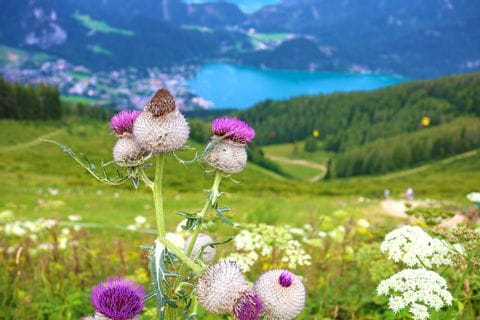 Alpine flowers in front of the lake panorama in the Salzkammergut