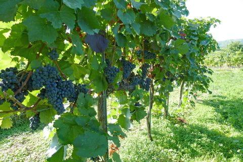 Wandertour durch Weinreben in der Wachau