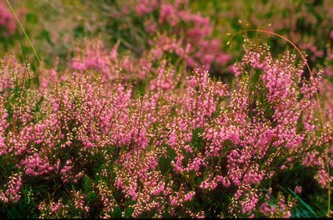 Moorland flowers at the hiking trail in Scotland