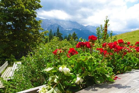 Beautiful flowers at hut Elmauer Alm