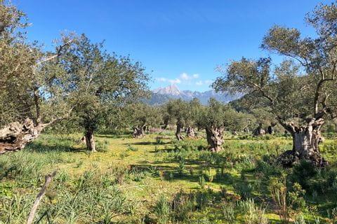 eurohike-wanderreisen-mallorca-olivengarten