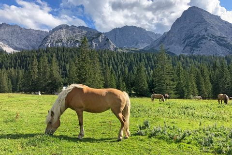 Grazing horses in the unique Zugspitze hiking region