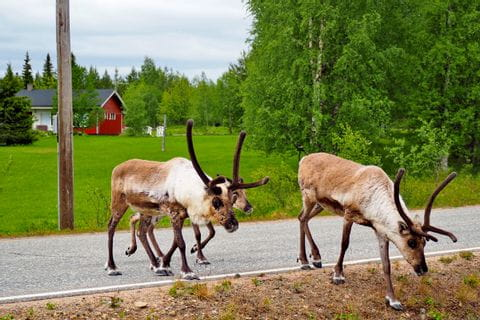 Reindeer on the hiking trail through Äkäslompolo