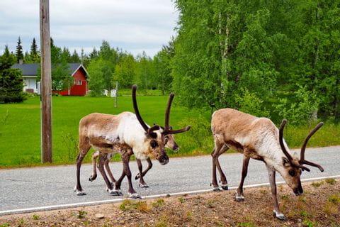 Reindeer on the hiking trail through Äkäslompolo