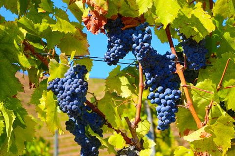 Juicy grapes while walking in the Douro-valley