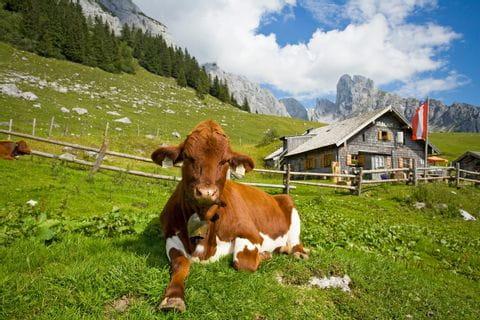 Alpine cows on the Stuhlalm on the Gosaukamm ridge