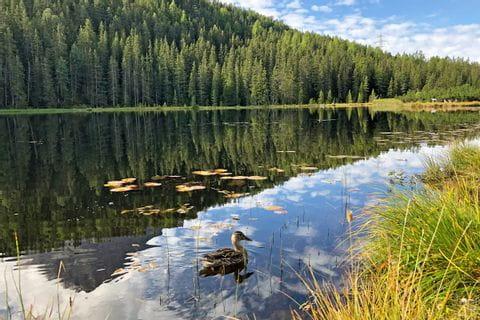 Ente auf dem Schwarzsee