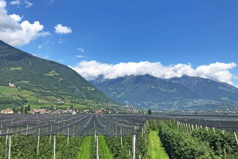 Apple groves in South Tyrol
