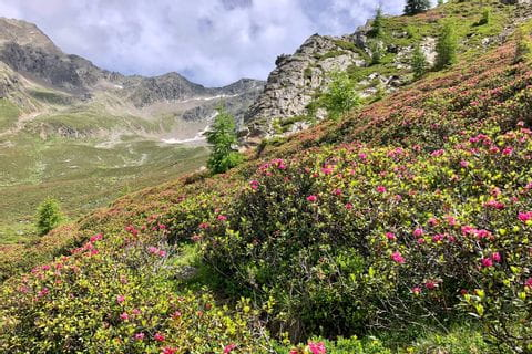 Blossoming alpine meadow rush by the wayside