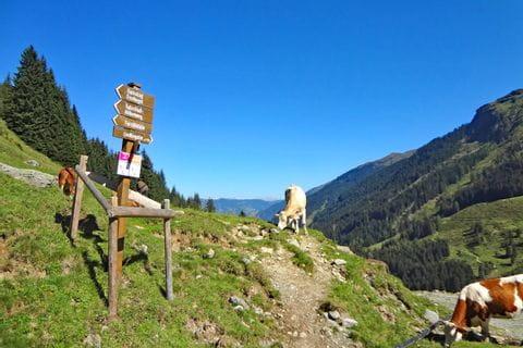 Almwandern mit Kühe als Wegbegleiter