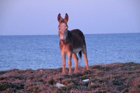 Cypriot donkey