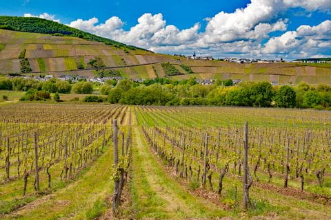 Weingarten am Moselsteig