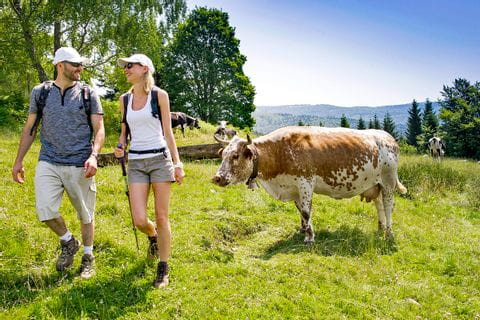 Enthusiastic hikers with grazing cows